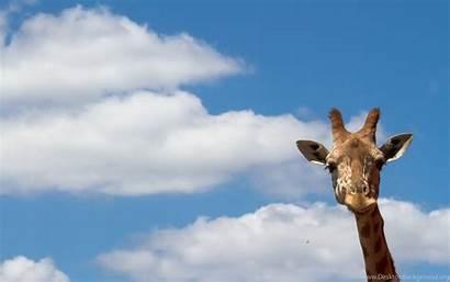 Giraffe Desktop Background Heavenly Backgrounds Wallpapers Computer