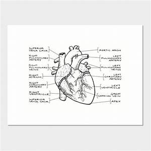 Anatomical Heart Diagram  Black Text