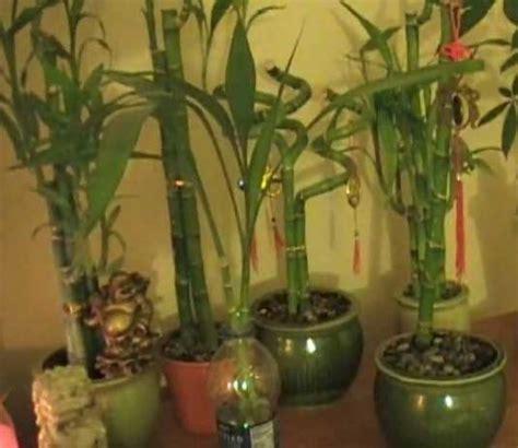 vastu  bamboo plant location direction  tips