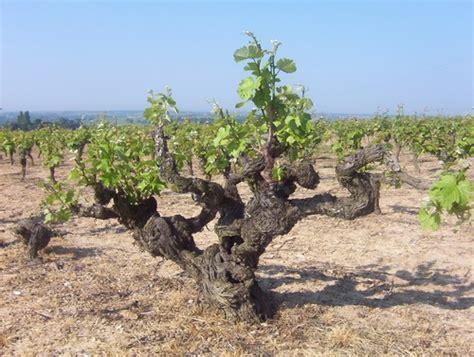 pied de cuisine pied de vigne au château de fesles photo de week end