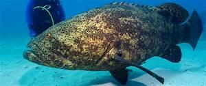 Massive Goliath Grouper Snatches Shark In Single Bite ...