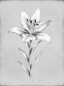 Pencil drawing of lily flower — Stock Photo © Sashsmir ...
