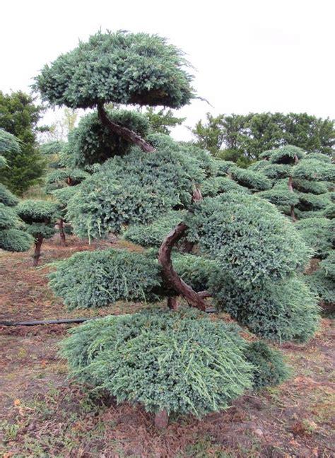 Blauer Kriechwacholder, Juniperus Blue Carpet, H 200225