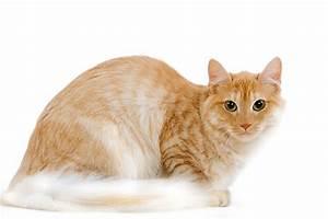 Image Gallery orange angora cat