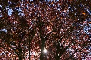 Zimmerpflanze Mit Roten Blättern : pflaumenbaum mit roten bl ttern das wichtigste zur blutpflaume ~ Eleganceandgraceweddings.com Haus und Dekorationen