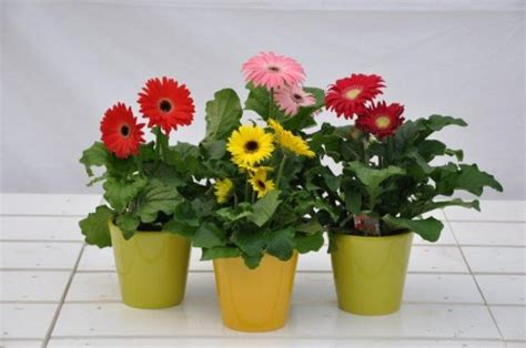 gerbera en pot entretien gerbera en pot entretien 28 images plante care purifică aerul de substanţele chimice