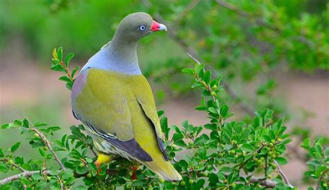 african green inside the life and ways of the african green pigeon