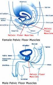 the pelvic floor