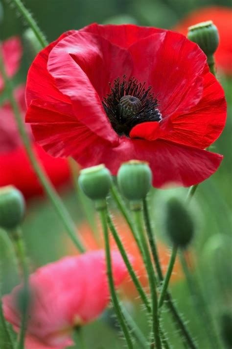 poppies meaning 17 best ideas about poppy flower meaning on pinterest veterans day veterans day activities