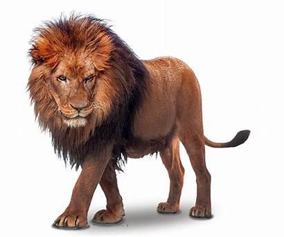 Lion Transparent Clipart Wild Lions Cartoon Clip