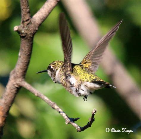 hummingbird migration hummingbird fall migration news journey north