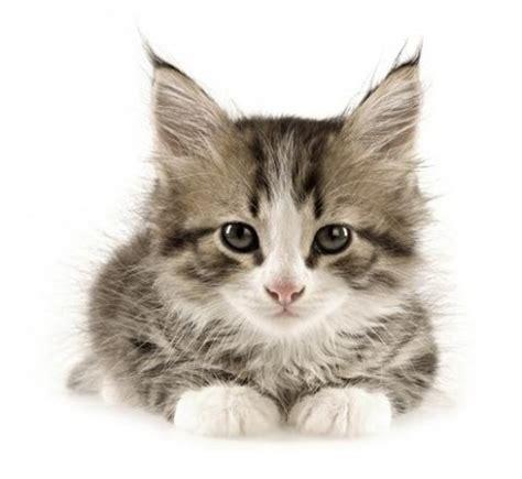 es la tina  como afecta  los gatos tratamiento de