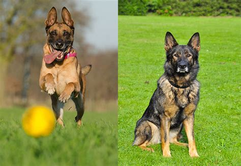 Belgian Malinois Vs German Shepherd Shedding by Belgian Malinois Vs German Shepherd Which Is The Best