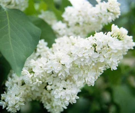 white flower varieties beautiful white flowers for backyard gardens judylovehomedesign