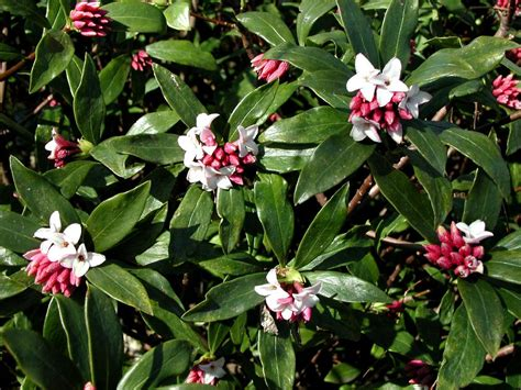 Daphne Odora  Fragrant Winter Daphne  For Dry Shade