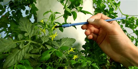 growing tomatoes indoors   worth