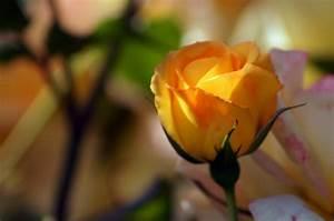 Gelbe Rose Bedeutung : gelbe rose blumen bl ten ~ Whattoseeinmadrid.com Haus und Dekorationen