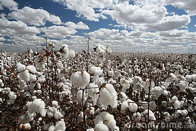 cotton field royalty  stock photography image