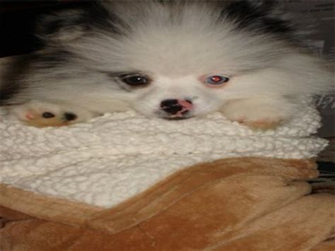 luckie pomeranian honolulu hawaii premier pups puppy photo gallery