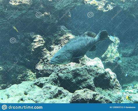 epinephelus lanceolatus giant grouper brindle bass gill ecology