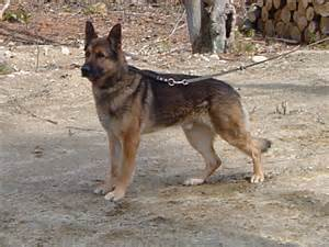 belgian shepherd husky mix breeds picture