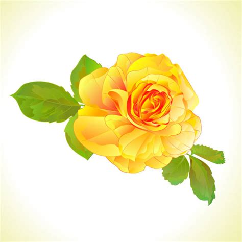 Best Yellow Rose Illustrations Royalty Free Vector