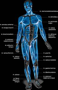 Diet Food Chart Muscle Chart Anatomical Muscle Chart Steroidslive