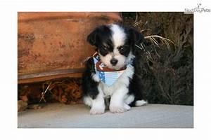 Chi-Poo - Chipoo puppy for sale near Little Rock, Arkansas ...