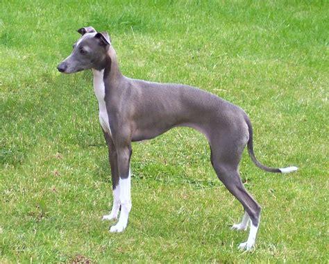 why is my italian greyhound shedding italian greyhound index page of mieleth italian