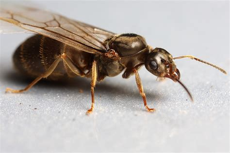 flying ant queen flying ant
