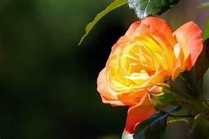 Gelb Rote Rosen Bedeutung : gelb rote rose blumen bl ten ~ Whattoseeinmadrid.com Haus und Dekorationen