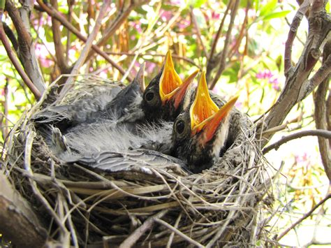 file baby robins ready to feed jpg wikimedia commons