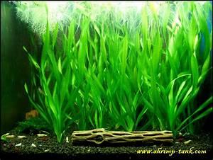 aquarium plants vallisneria - Vallisneria spiralis ...