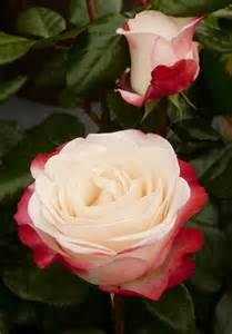 Cream Garden Rose Varieties