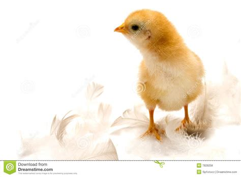 Young Chicken Royalty Free Stock Photos  Image 7829258