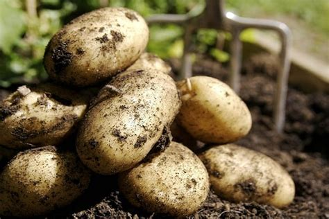 Kartupeļu šķirnes: labākie veidi ar aprakstu un fotoattēlu