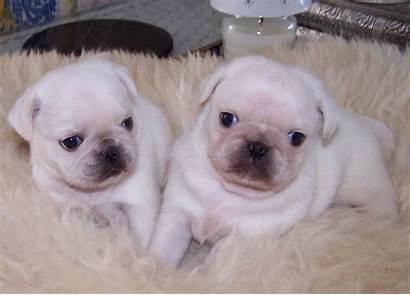 Pugs Pure Pug Liskeard Dogs Pets4homes Ago