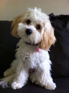 1000 images about cavapoos on cavapoo puppies cavalier king charles and poodle mix