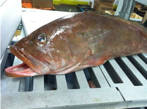 grouper pacific edibles seafood wild july