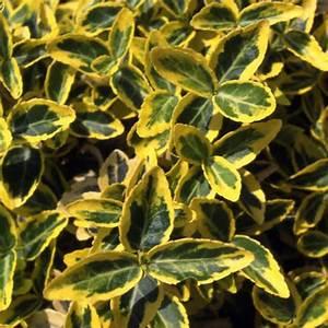 Immergrüne Winterharte Kübelpflanzen : pin immergr ne k belpflanzen on pinterest ~ Markanthonyermac.com Haus und Dekorationen