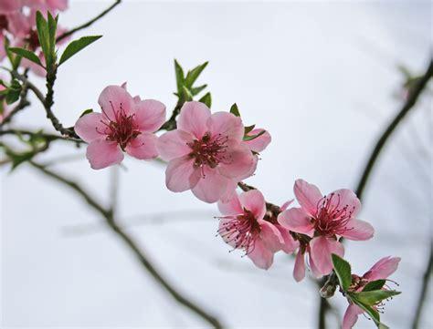 alberi con fiori rosa fiori rosa fiori di pesco foto immagini piante fiori