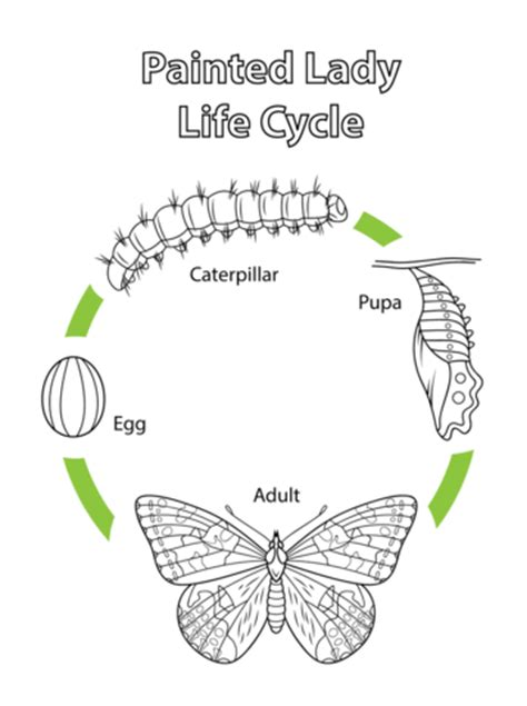 life cycle   painted lady butterfly coloring page  printable coloring pages
