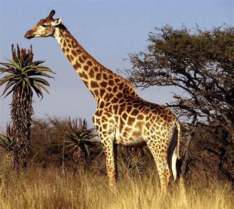 Giraffes  The Lion King Wiki  Fandom Powered By Wikia