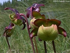 Sarracenia Purpurea  Purple Pitcher Plant   Minnesota