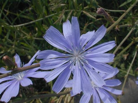 common chicory cichorium intybus