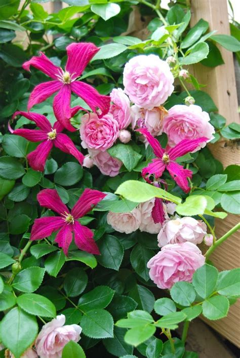 Top 25+ Best Climbing Roses Ideas On Pinterest Climbing