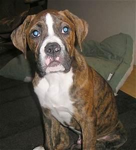 Beagle Boxer: American Bulldog Boxer