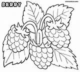 Coloring Berry Raspberries Designlooter 45kb 902px 1000 sketch template