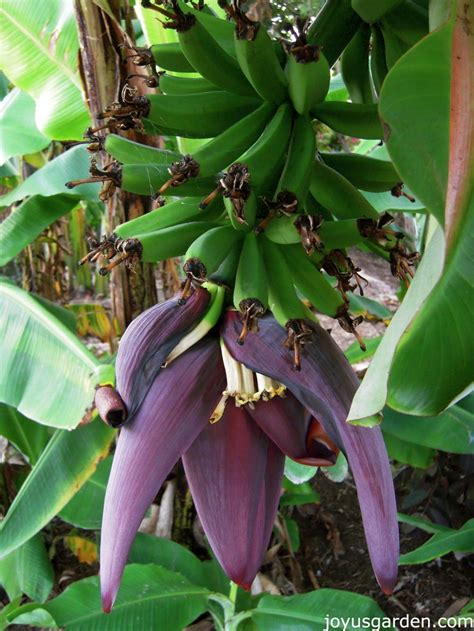 banana flower 17 best images about flower banana on pinterest banana plants purple and hawaii