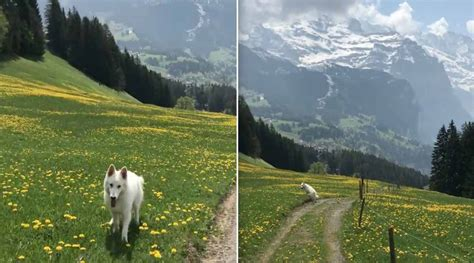 dog walking  swiss alps   pure bliss